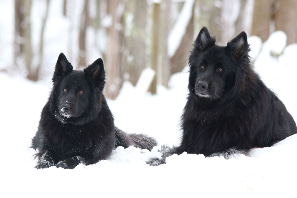 Outdoor Dog Photography of Two German Shepherds in the Winter