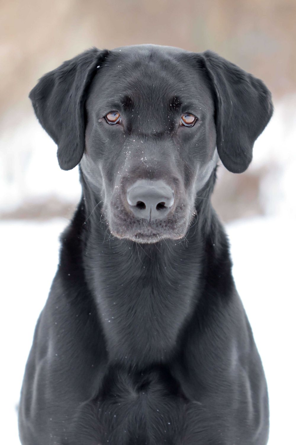 Professional Dog Portrait of a Black Lab Outside