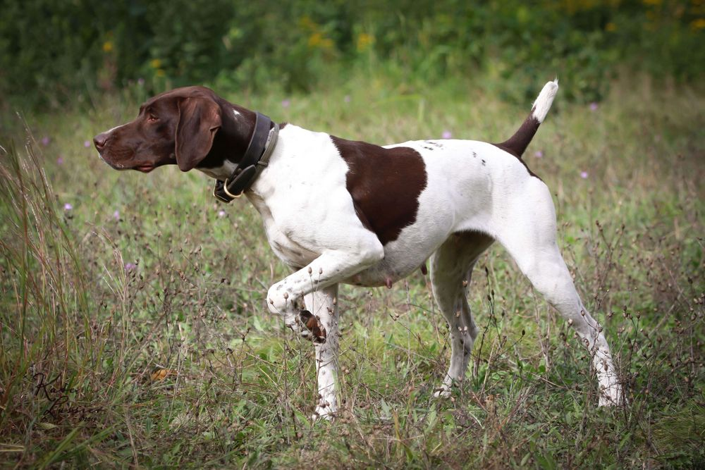Outdoor Dog Portrait of a German Shorthaired Pointer
