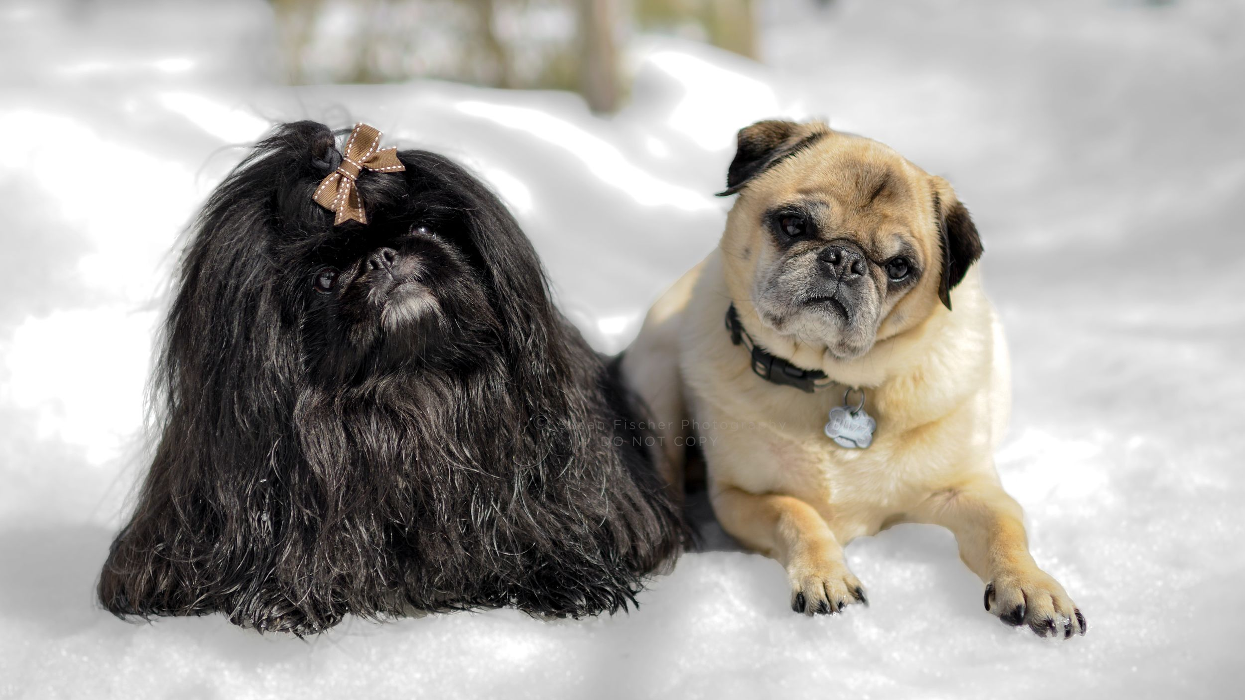 A black Pomeranian and fawn Pug lying together in the snow