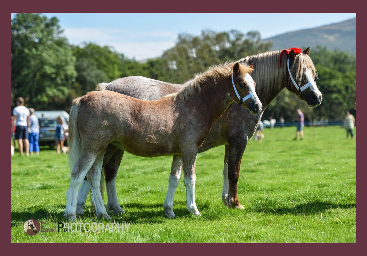 Welsh Pony Photography