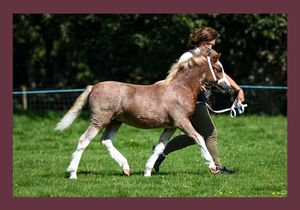 Welsh Pony and Cob Photography