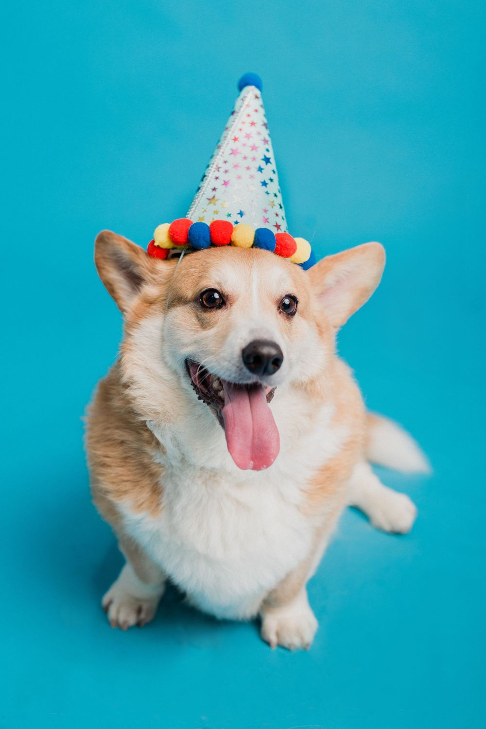 Corgi wearing a birthday hat