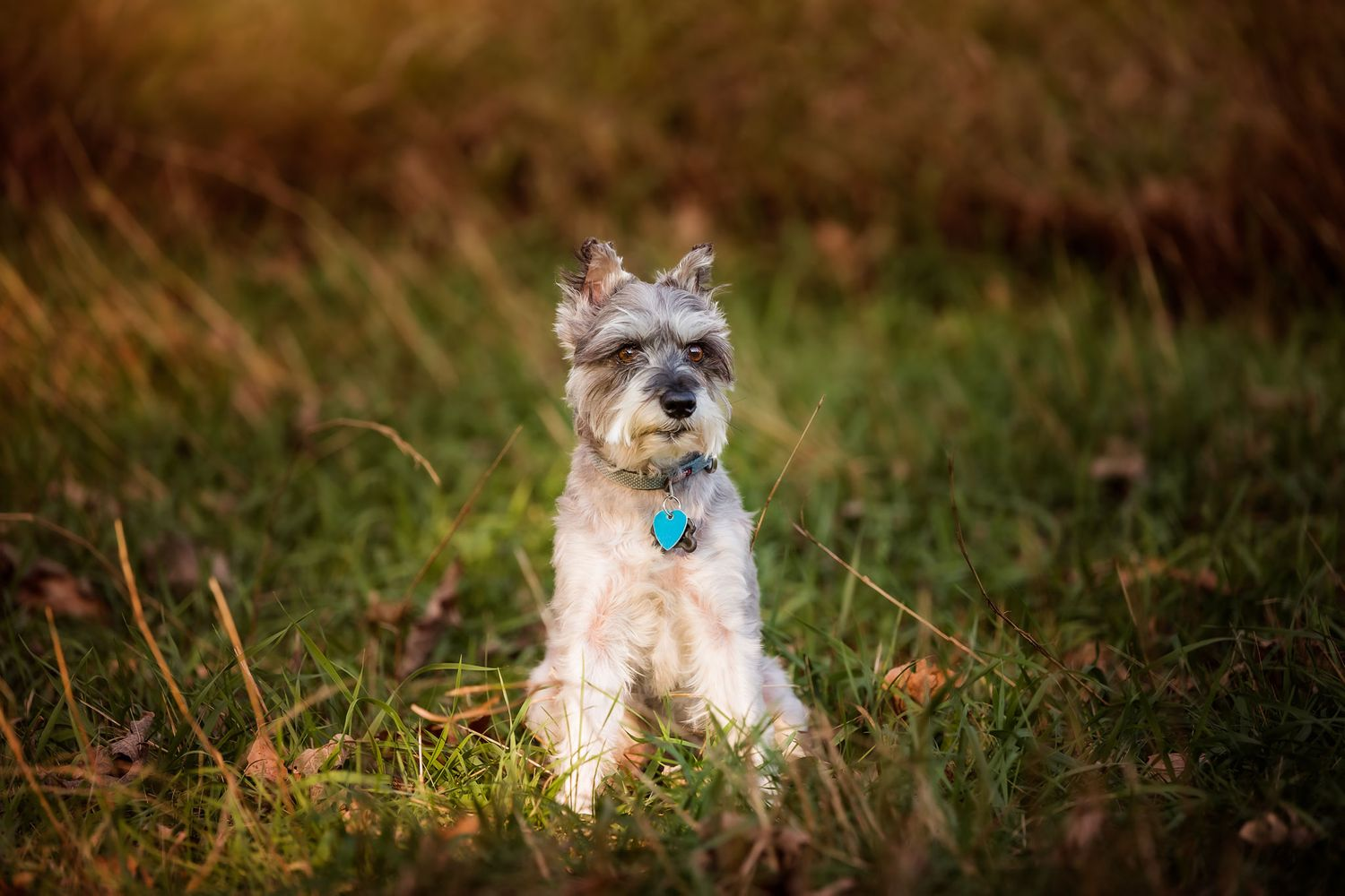 Professional dog photography of a terrier in Omaha Nebraska
