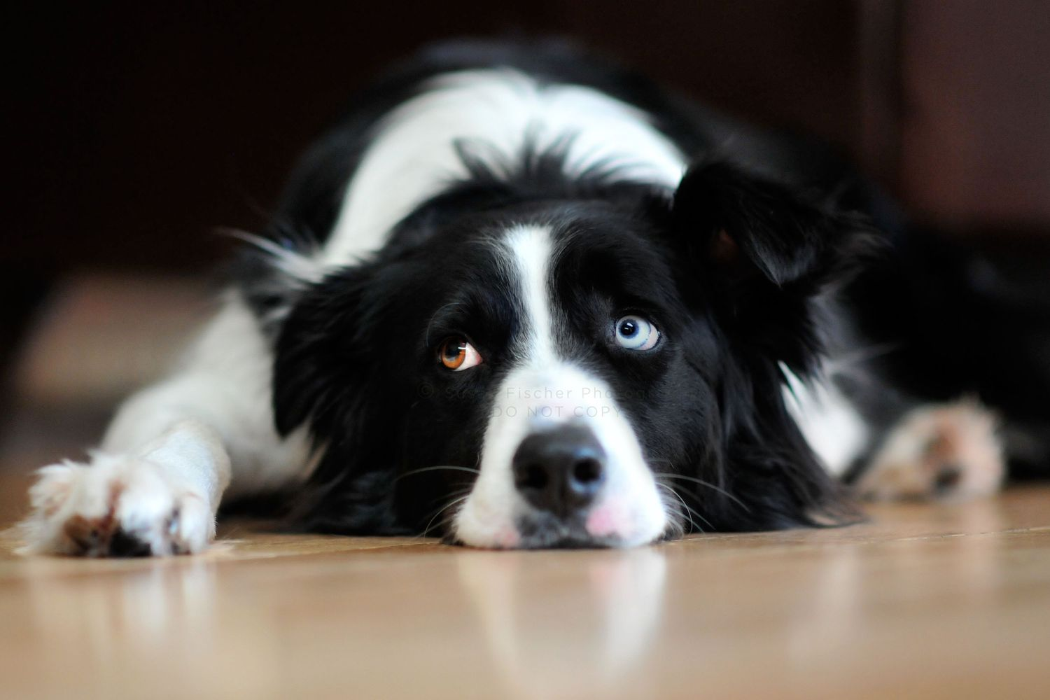Border Collie dog with one blue and one brown eye lying with head down on floor