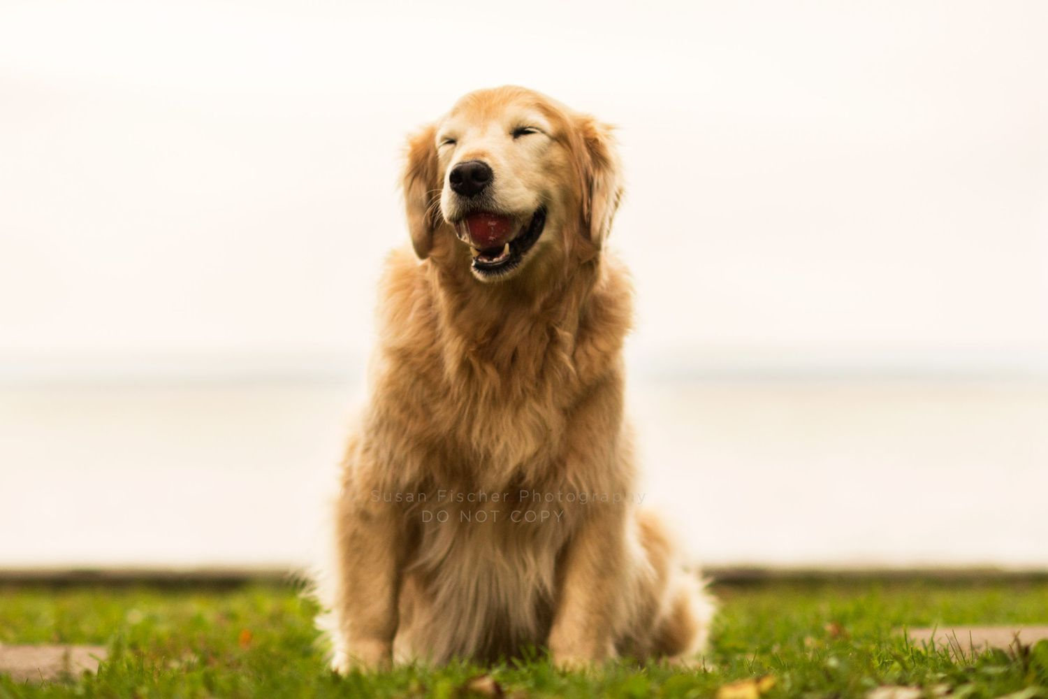 dog, dog with ball, golden retriever, smiling dog, eyes closed
