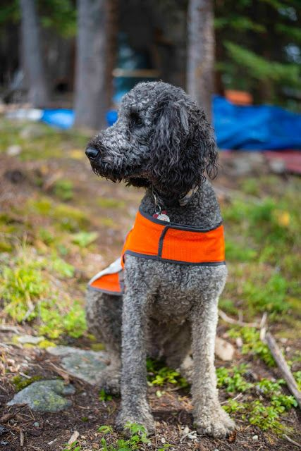 standard poodle in the woods