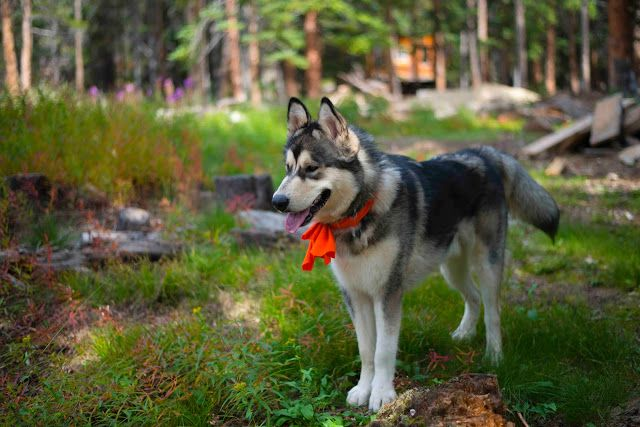 malamute in the woods