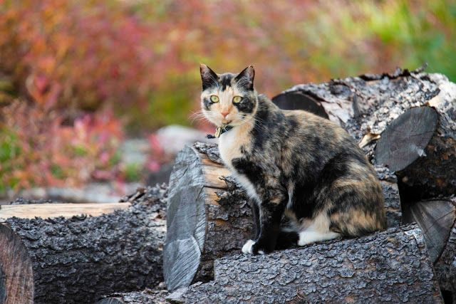 Tortoiseshell cat on a log in the woods