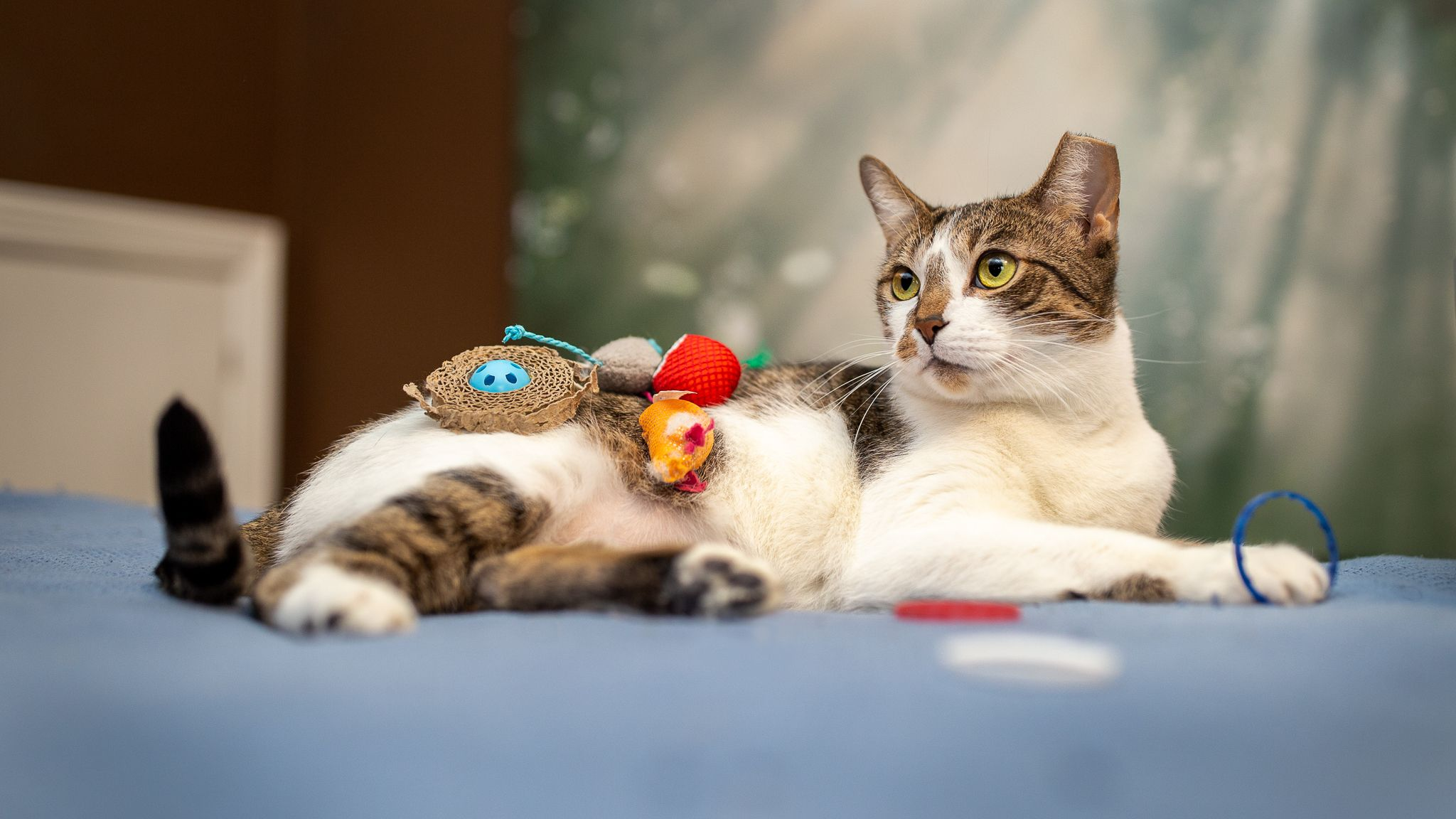tabby white cat with toys