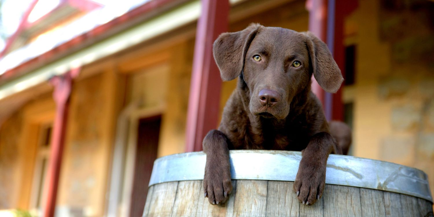 Adelaide Winery Pet Photographer