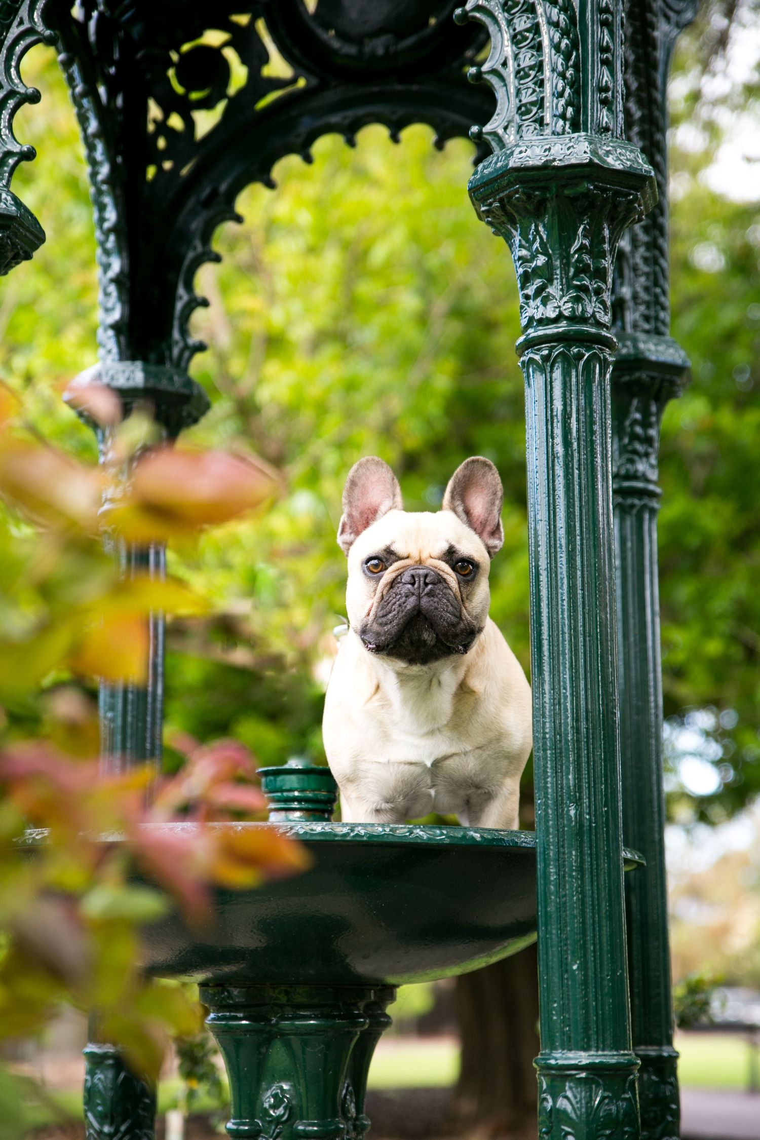 French Bulldog in Fountain at Partridge House at Glenelg Adelaide