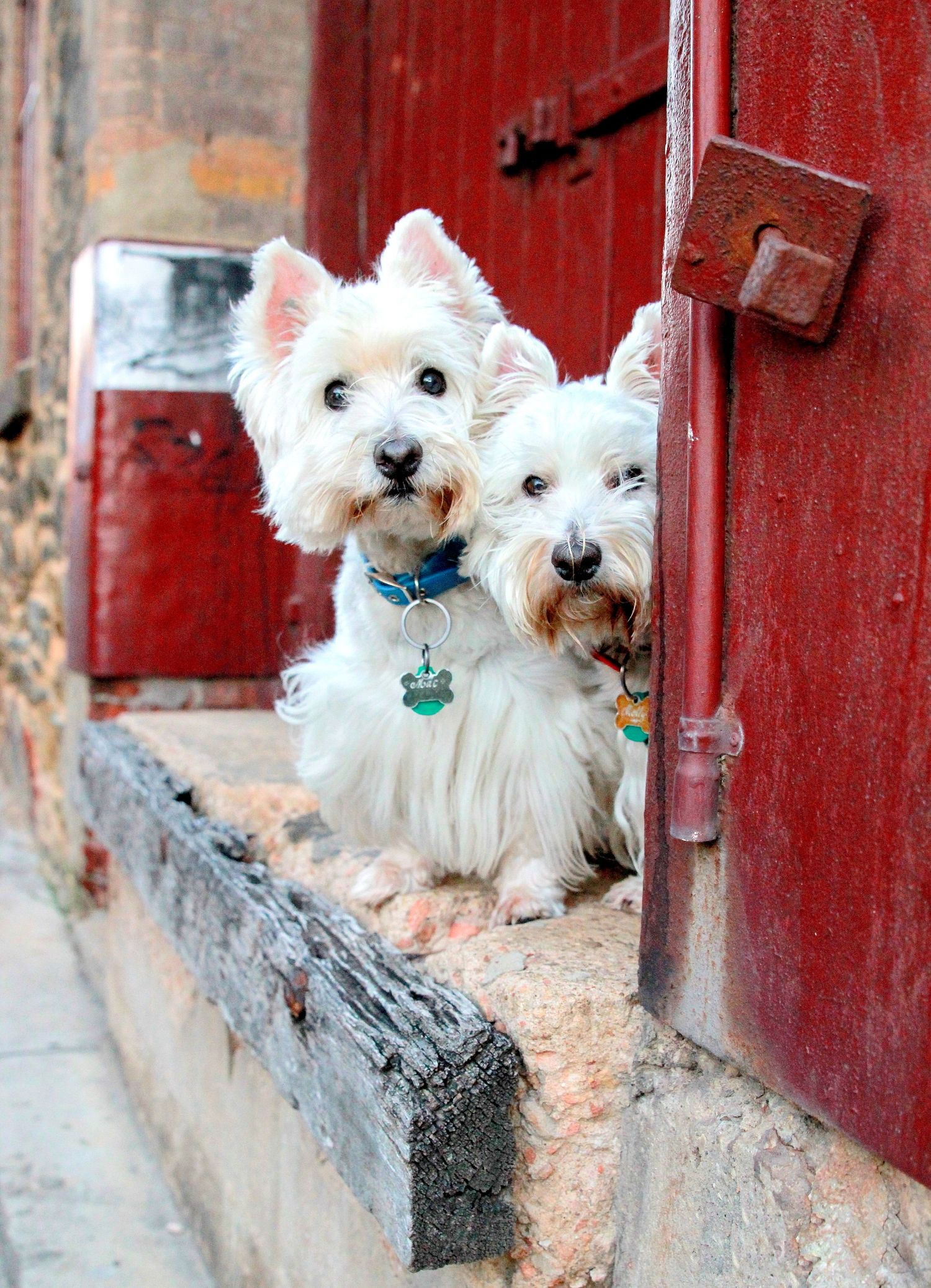 Dogs together on ledge for pet photographer Adelaide