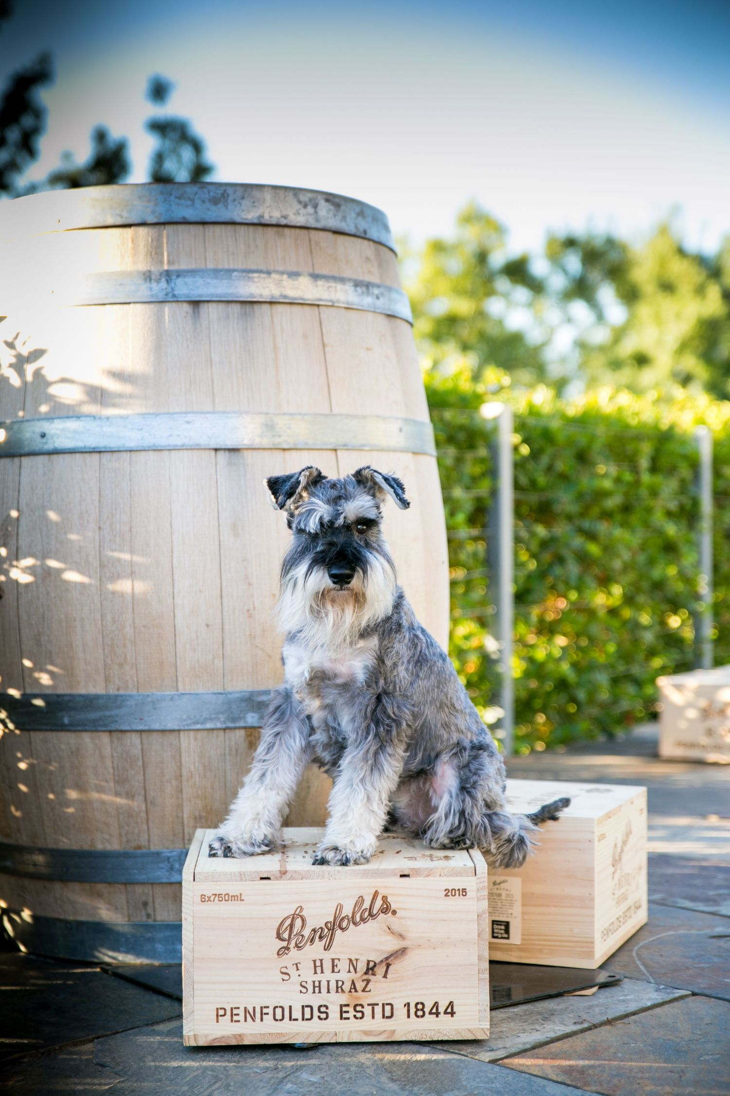 Wine dog posing at Penfolds Winery in Adelaide