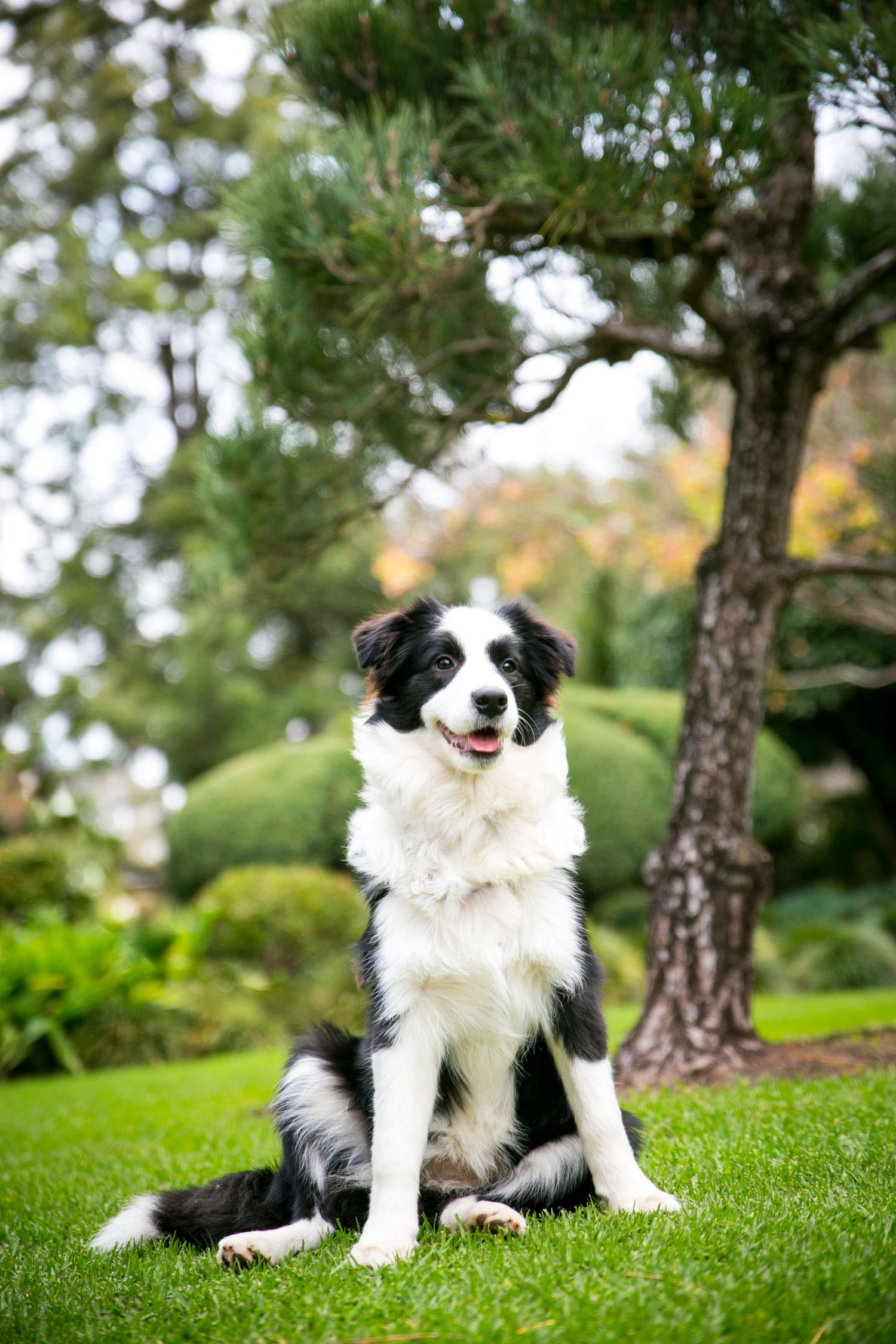 Adelaide Pet Photographer in Gardens with Border Collie