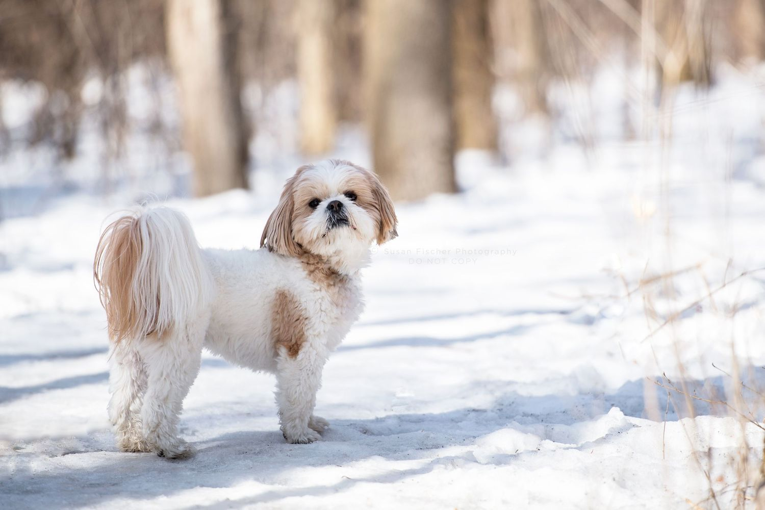 A white and tan Shih Tzu in a snowy forest