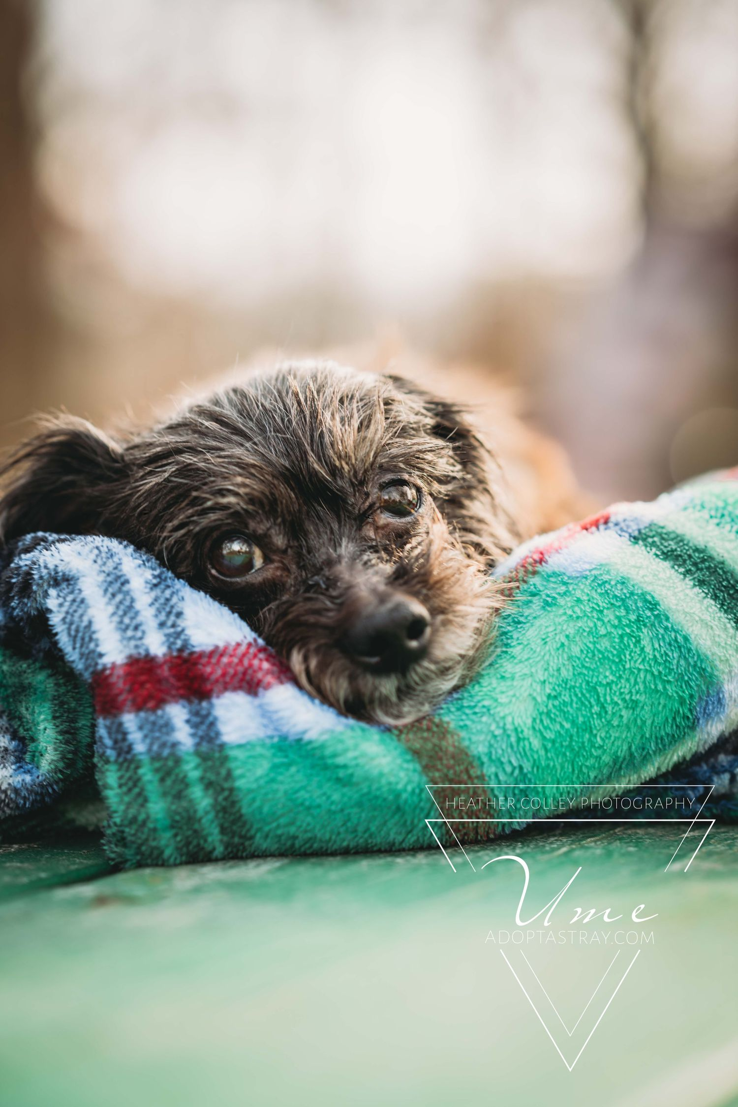 A small old terrier dog lays on a plaid blanket.