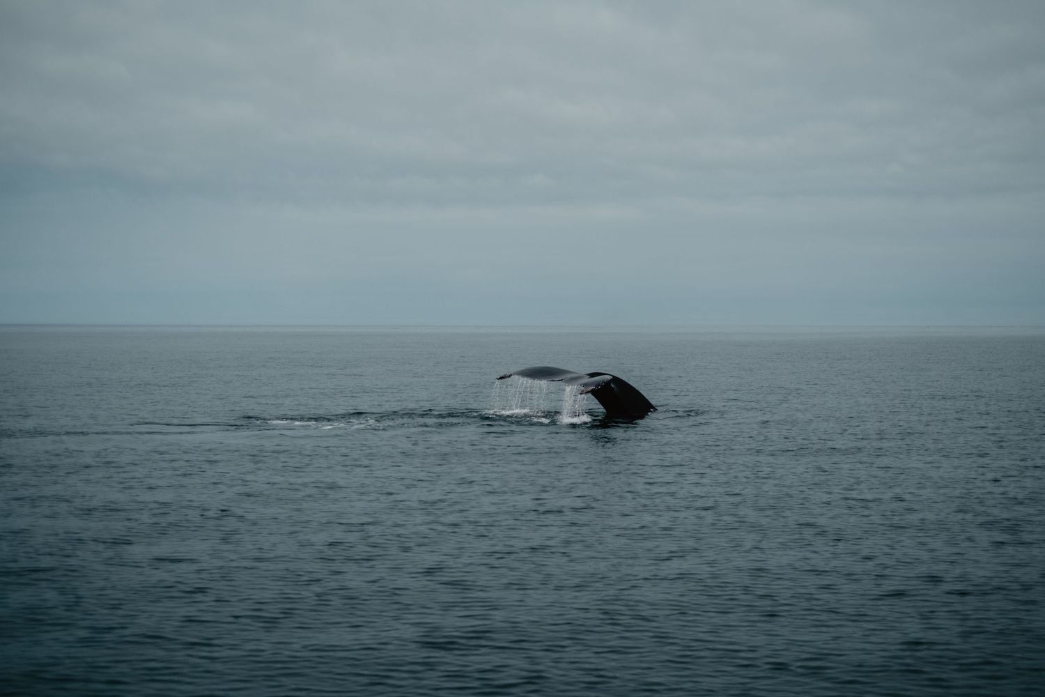brier island whale watching whale tail