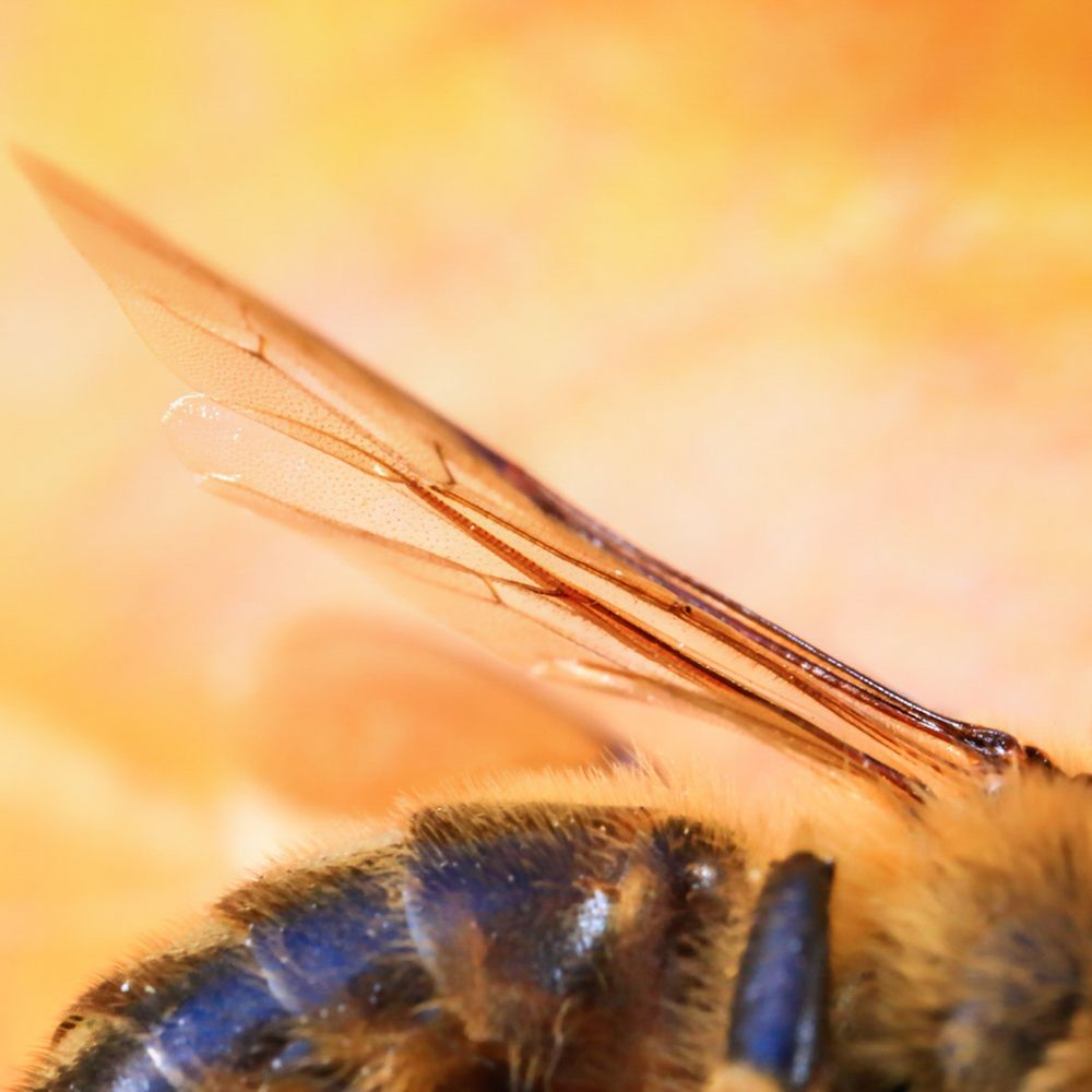 Bee Wing Stock Image © COPYRIGHT. 2020. Dragon Papillon Photography. All Rights Reserved.