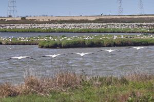 Pelicans at the Palo Alto Baylands