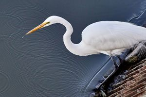 Great White Heron fishing at the Palo Alto Baylands