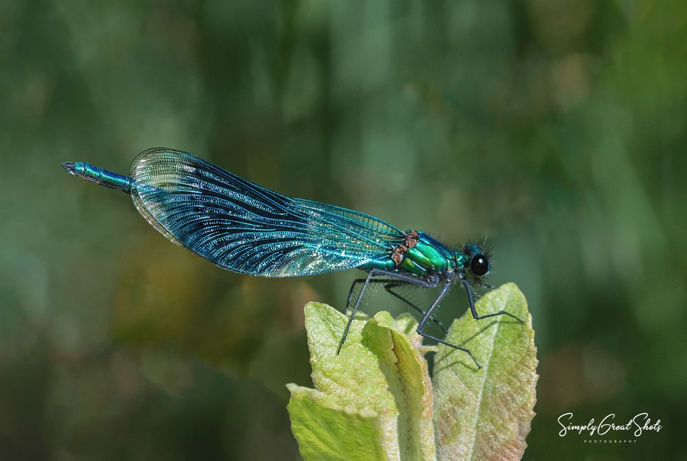A Damsel Fly resting in the sun