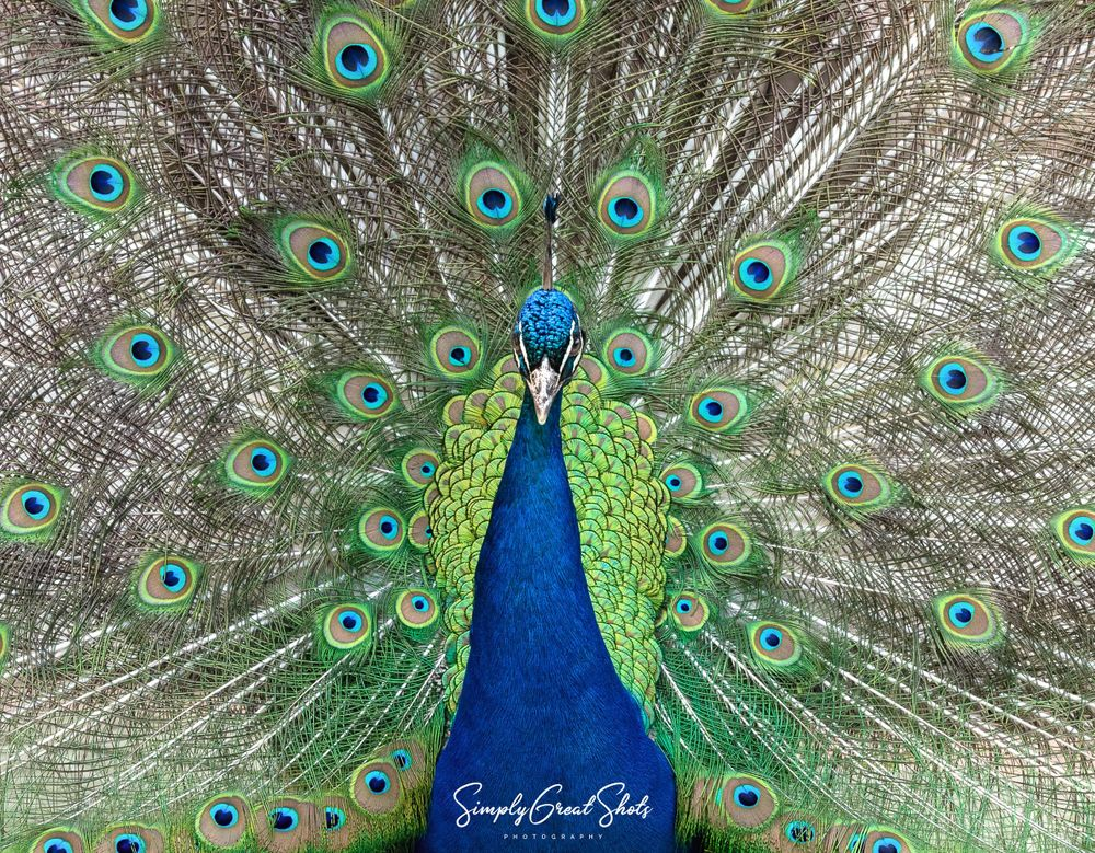 A Peacock showing his beautiful Feathers