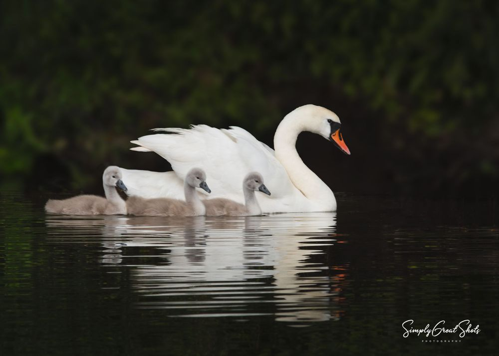 A Swan and her three young cygnets