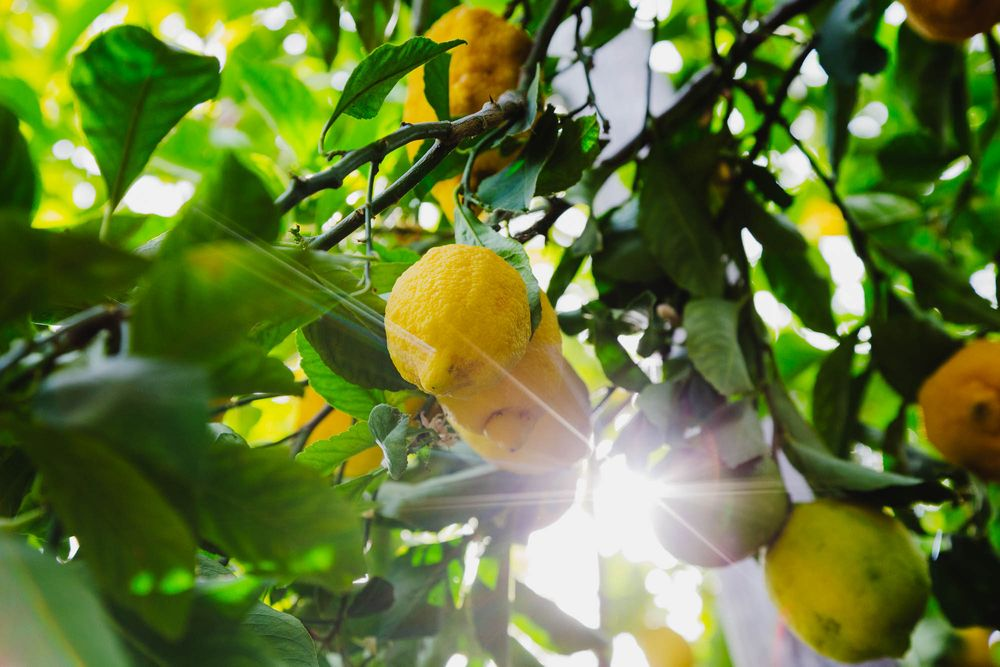 Lemon groves with the sun bursting though, Sorrento, Italy, travel photography