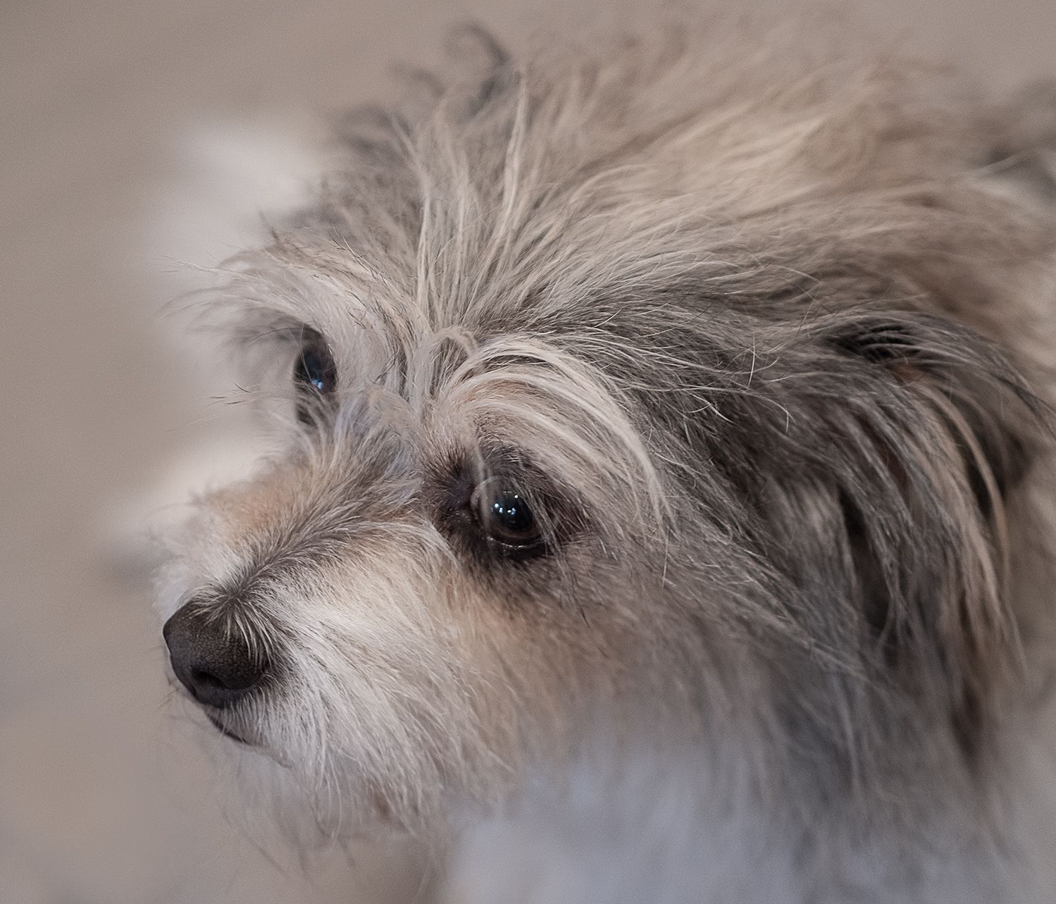 Headshot of Grey and White Terrier Dog Rescue by Zurich based Photographer L Argote