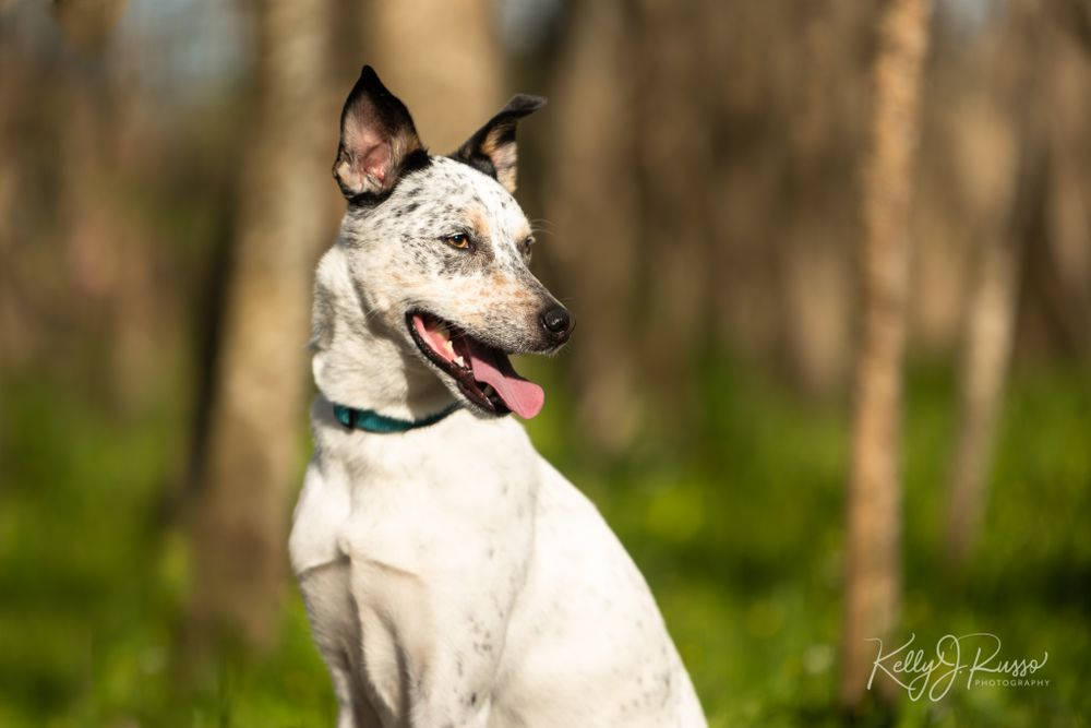 Australian cattle dog portrait Fort Bend County Texas