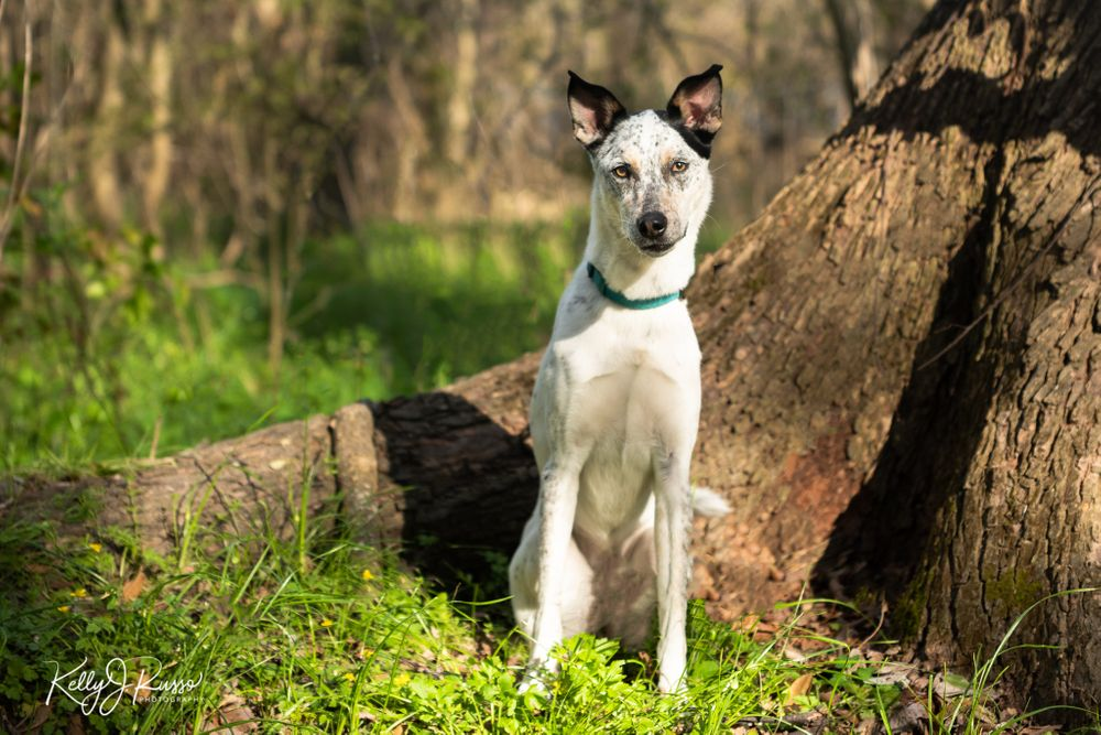 Australian cattle dog by tree Sugar Land Texas