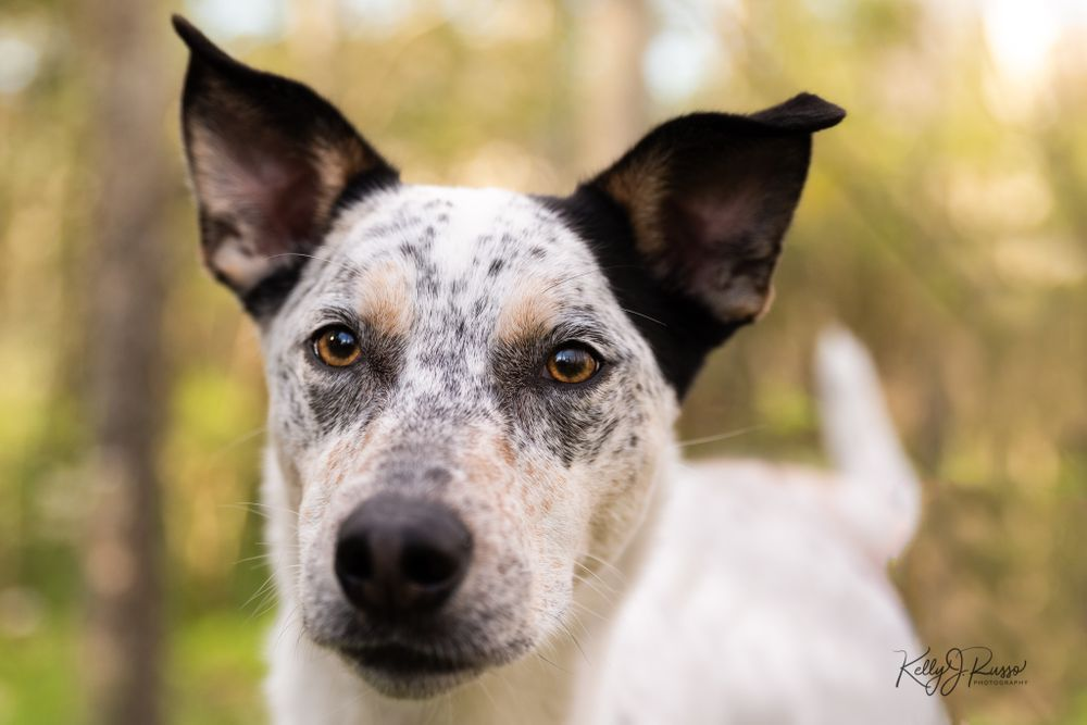 Australian cattle dog portrait Sugar Land Texas