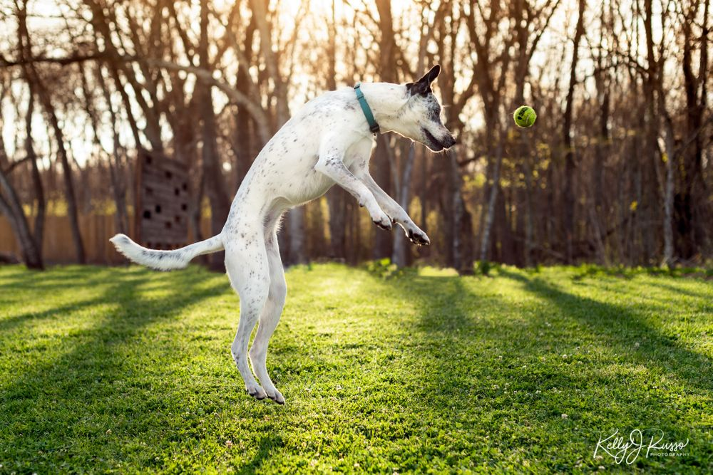 Australian cattle dog jumping after ball Sugar Land Texas