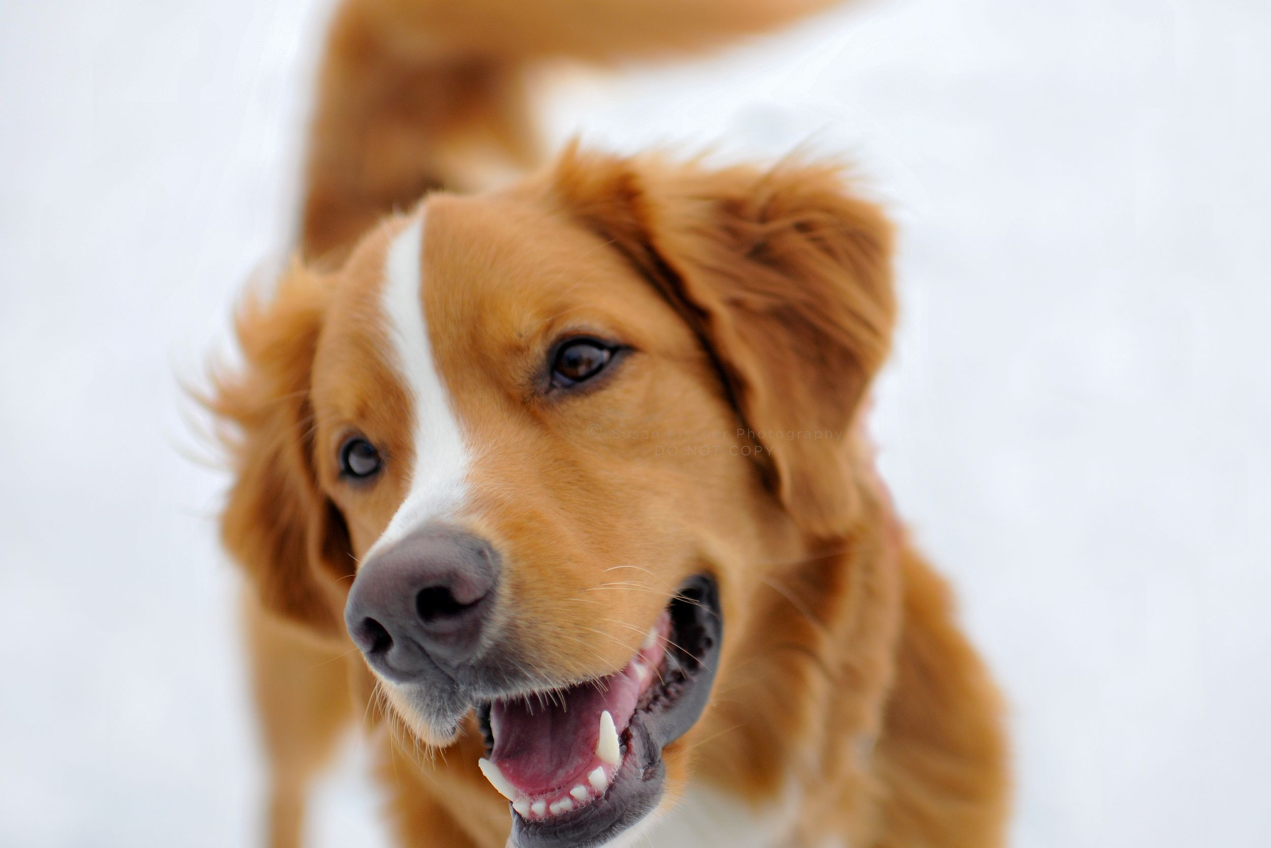 A smiling portrait of a reddish retriever mix with a white stripe down the centre of his head and nose
