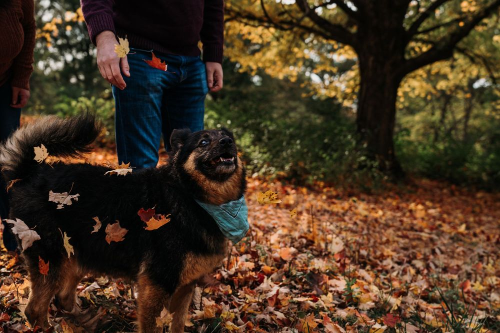 Family pet photographer in Cincinnati Australian Shepard Chow Shiba Dog photos Dayton Ohio Couples photography near me