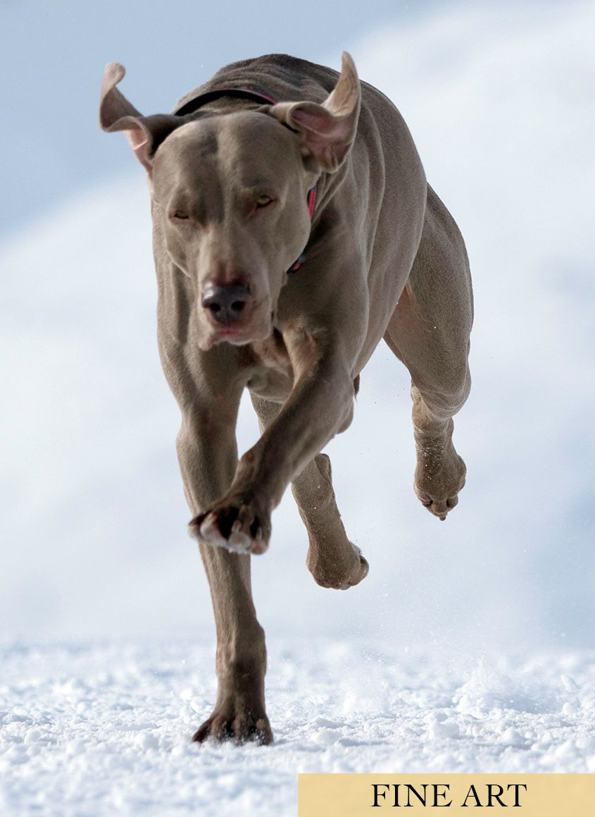 Silver Weinerammer Dog Running in Snow by Zurich Photographer Leslie Argote