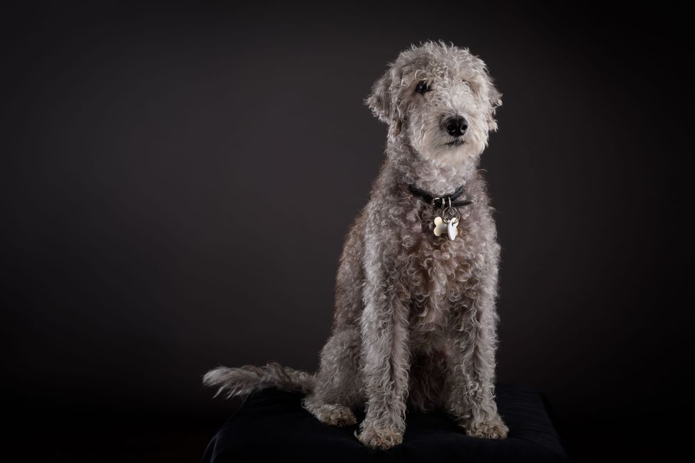 dog photography berkshire terrier