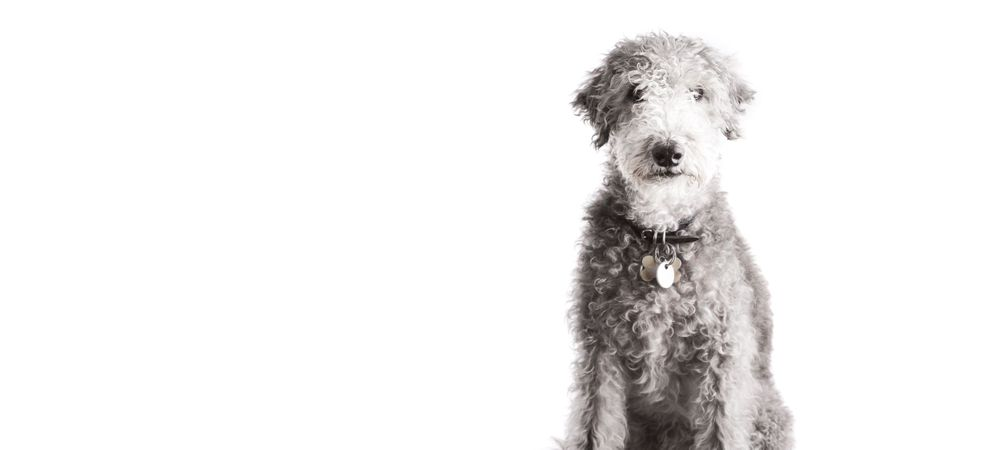 dog photography berkshire terrier white background