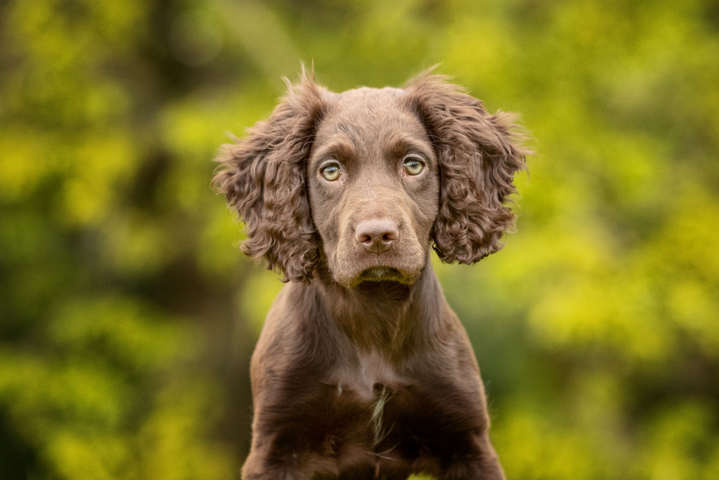 spaniel puppy looking directly at camera
