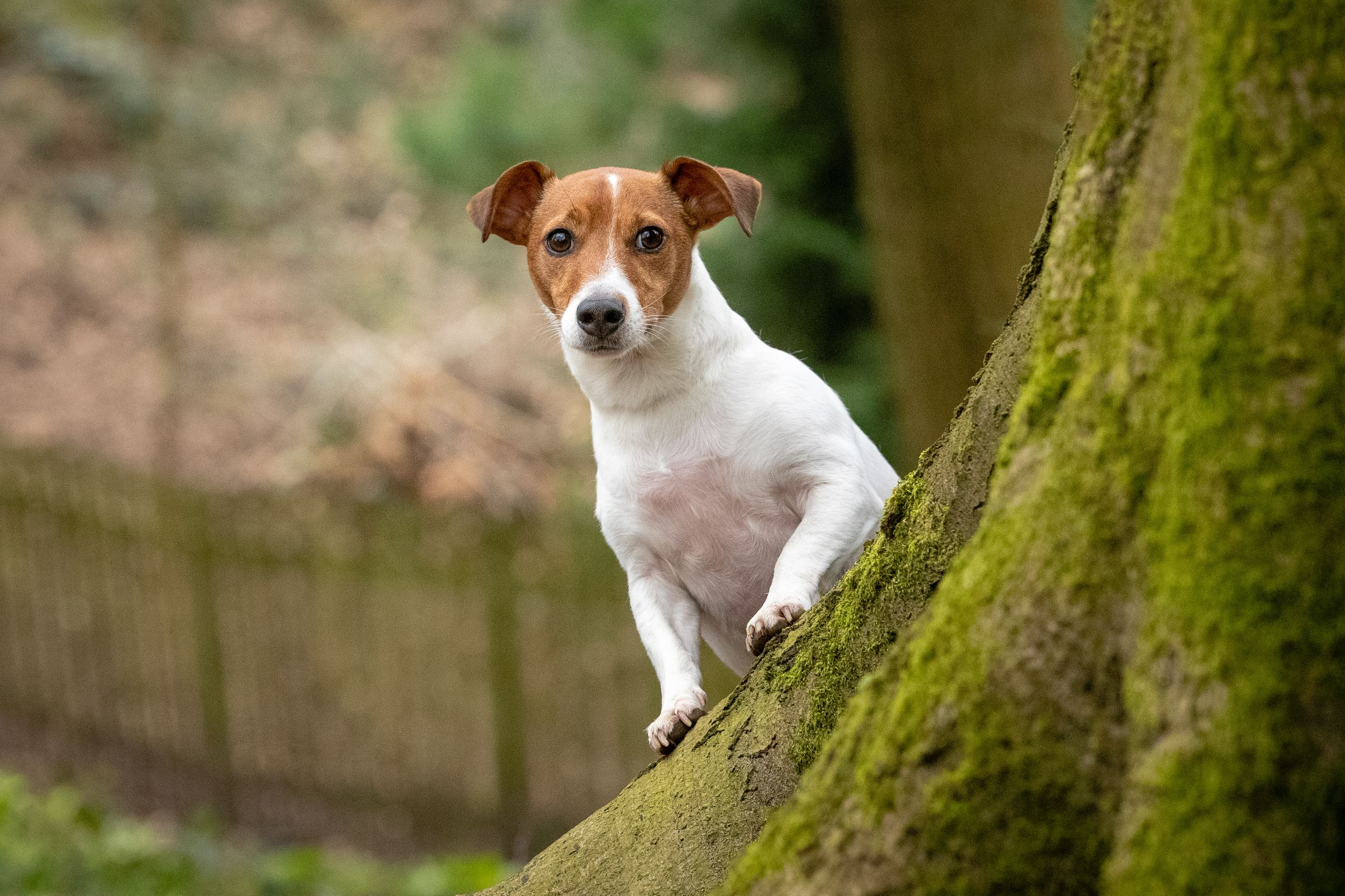 jack Russell peeping around tree