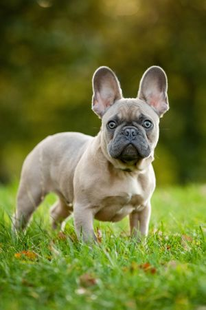 French bulldog looking at camera