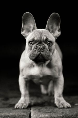 French bulldog in black in monochrome