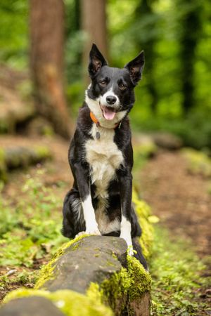 collie dog posing on a log