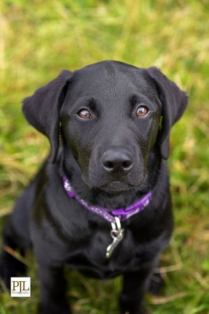 black Labrador dog looking up