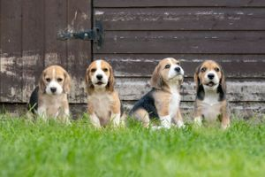 four beagle puppies