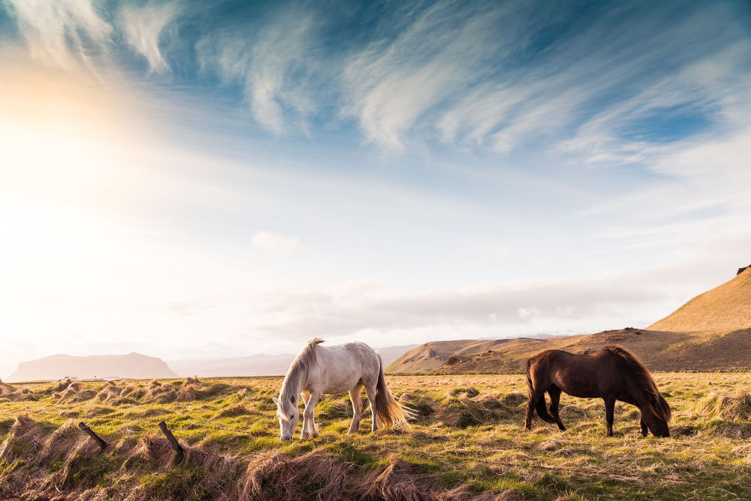 Icelandic horses grazing in a field during Iceland elopement