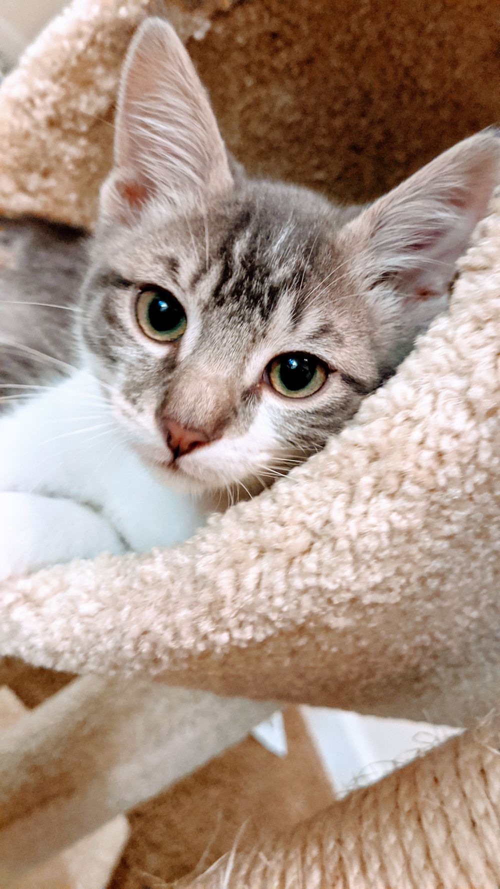 grey and white tabby kitten laying in a cat tower staring at the camera