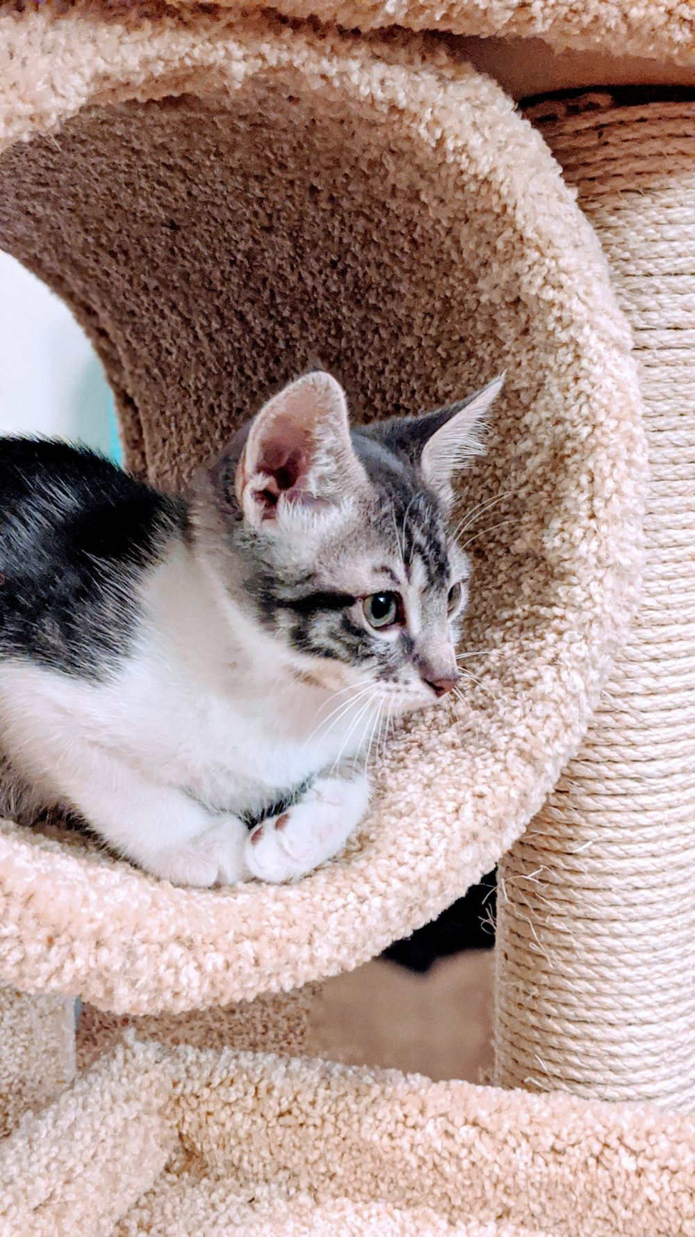 grey and white tabby kitten laying in a cat tower