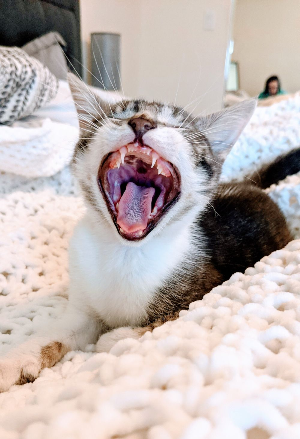 grey and white tabby kitten yawning